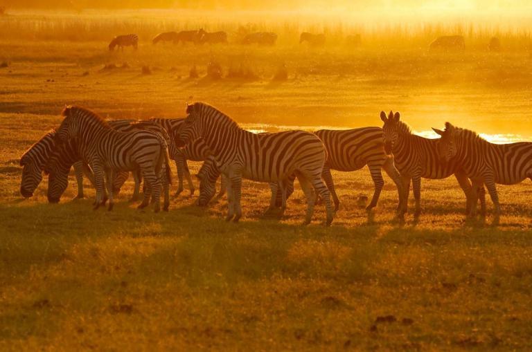 Afrika Reisen: Afrika auf einer unvergesslichen Reise entdecken. Zebras in der Serengeti bei Sonneuntergang liver erleben