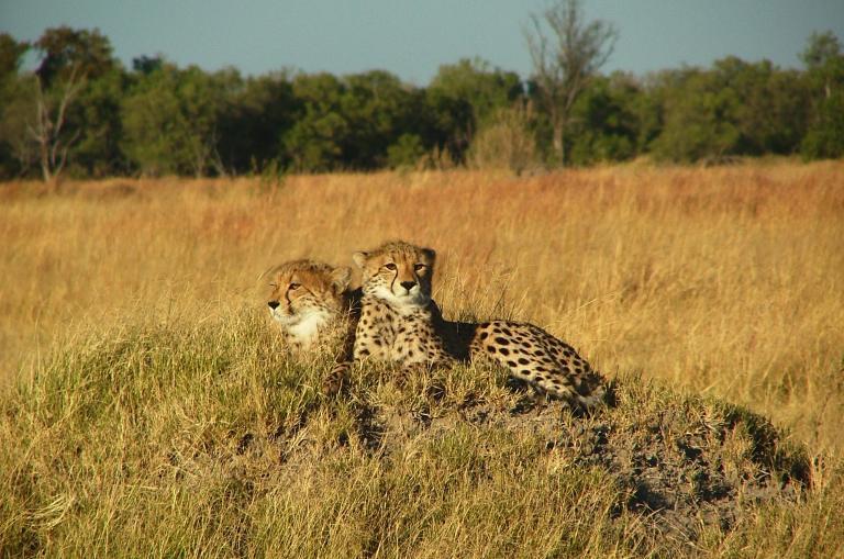 Geparden Pärchen in der Savanne Botswanas: Die schnellsten Tire der Welt entspannen. Entdeckt während der Great Trek - Northbound Adventure Safari