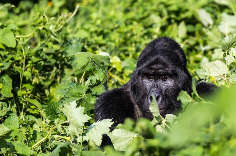 Highlights of Uganda: Berggorilla Trekking