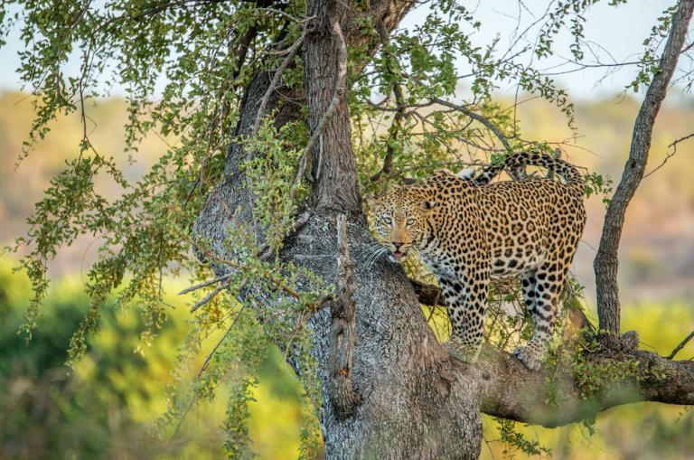 Leopard in Botswana während Lodge Safari