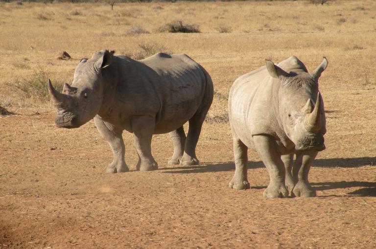 Nashörner im Chobe National Park währende der abenteuer Camping Safari durch Namibia
