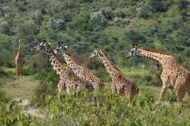 Reisearten, Reisenthemen  und Reisetypen auf Global-Adventures: Sehr beliebt sind Safaris um Giraffen und andere Tiere zu beobachten