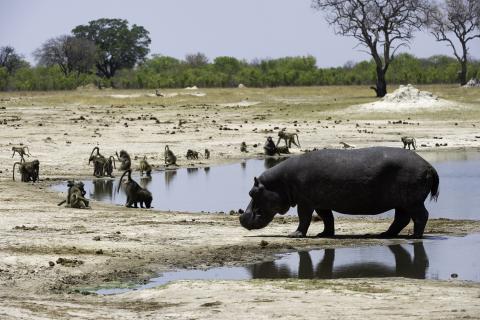 Nilpferd am Wasserloch Hwange National Park Simbabwe