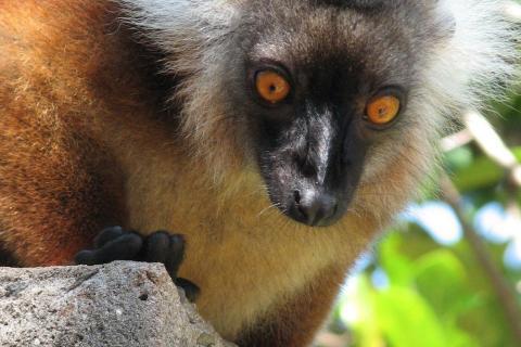 Äffchen auf Madagaskar in Antsirabe