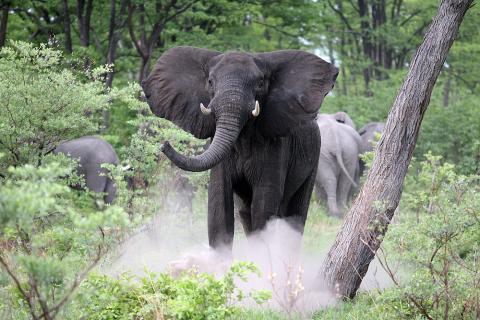 Elefant Chobe Nationalpark