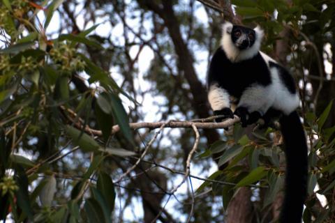 Lemuren im Ranomafana National Park