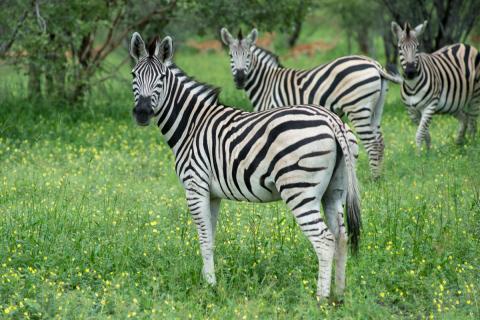 Zebra Moremi Game Reserve