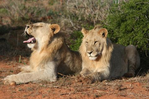Löwen im Moremi Game Reserve