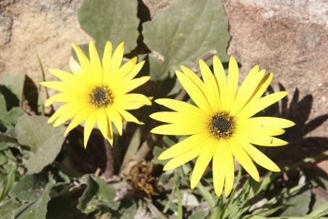 Blumen und Bluemnpracht im Namaqualand, dem Blumengarten Afrikas