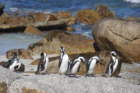 Start der Rundreise in Südafrika am Kap der guten Hoffnung bei der Pinguin Klonie am Boulders Beach