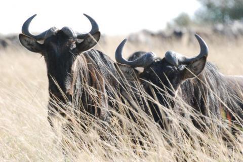 Afrikanische Büffel in der Steppe des Masai Mara Nationalparks