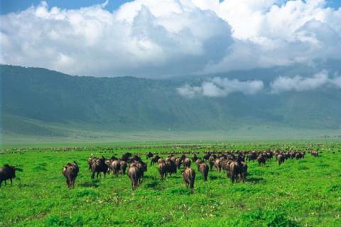 Büffelherde im Ngorongoro Krater in der Serengeti Tansanias