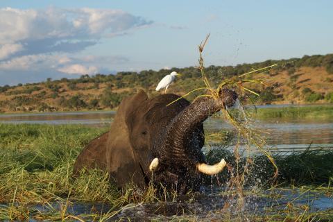 Elefant mit Vogel im Chobe Fluss Botswana