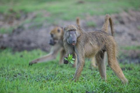 Affen gesichtet während der Camping Safari Botswana im Chobe Nationalpark