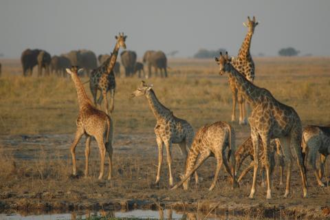 Giraffen und Elefanten im Chobe Nationalpark