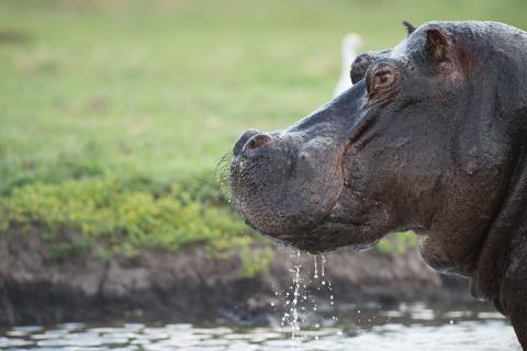 Hippo / Nilpferd im Chobe Nationalpark Botswana