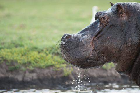 Hippo im Chobe National Park