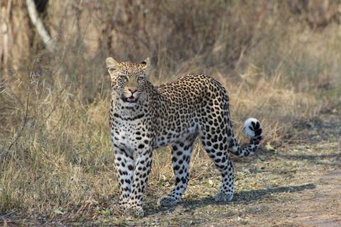 Leopard im Chobe National Park