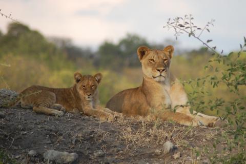 Löwen im Chobe Nationalpark