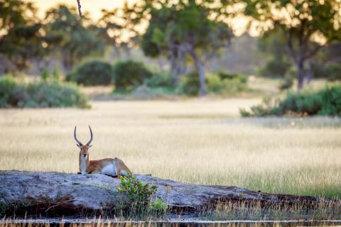 Anthilopen im Moremi Game Reserve