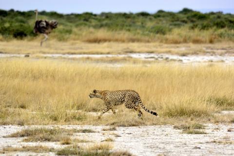 Gepard im Tarangire National Park