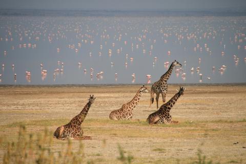 Giraffen im Manyara National Park