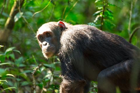 Schimpansen Trekking Kibale National Park