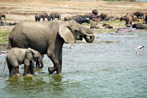 Elefanten am Wasserloch im Queen Eliazbeth Nationalpark Uganda