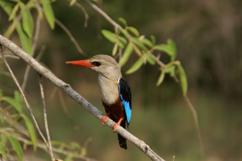 Wunderschöner Eisvogel in freier Natur Ugandas