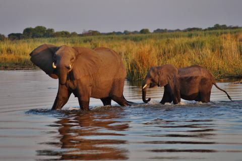 Auf einer Rundreise durch Namibia, Botswana und zu den Victoriafällen darf dieses Highlight auf der Tour nicht fehlen: Die Elefanten Herden im Chobe Nationalpark
