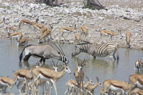 Anthilopen und Zebras an einem Wasserloch im Etosha Nationalpark