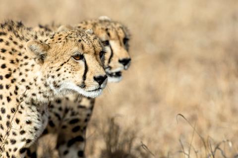 Walking Safari im Krüger Nationalpark: Zwei Geparden auf der Jagd