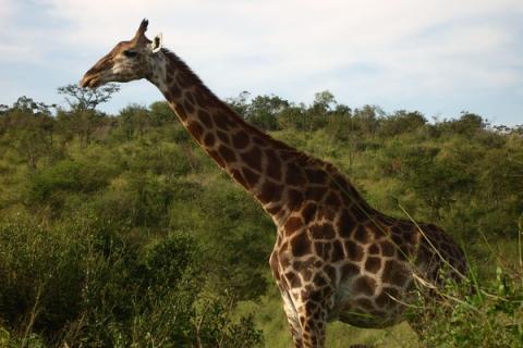 Giraffe beim Fressen im Krüger Nationalpark Südafrika