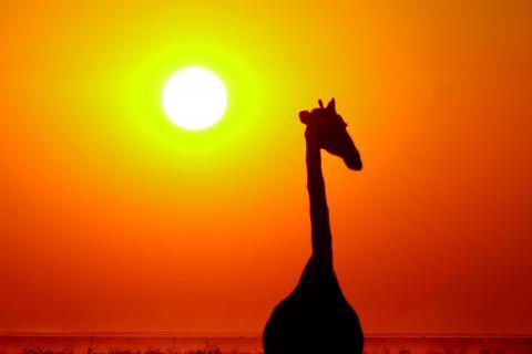 Giraffe im Etosha Nationalpark in Namibia bei Sonnenuntergang