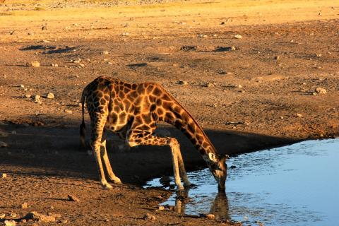 Giraffe beim trinken im Etosha Nationalapr