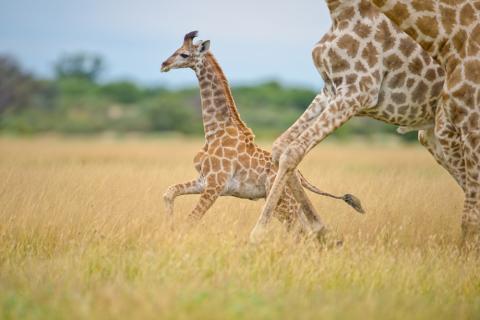 Giraffen im Chobe National Park Botswana