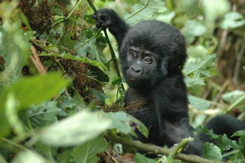 Baby Gorilla während des Uganda Gorilla Trekkings im Bwindi Impenetrable National Park