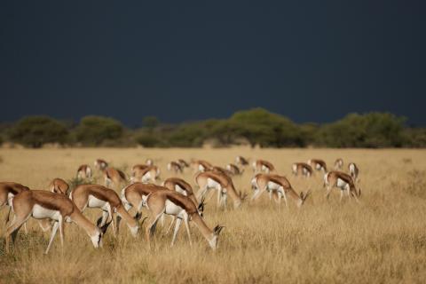Rundreise durch Namibia und Botswana: Tour durch die Kalahri führt uns zu Springböcken