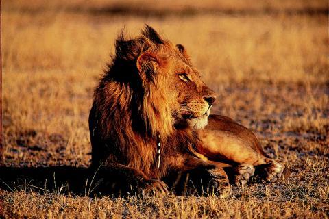 Löwe im Kgalagadi Transfrontier Park in der Kalahari Wüste