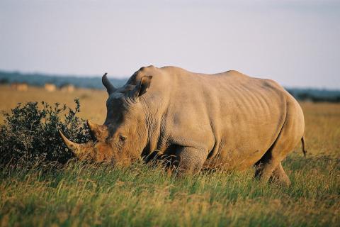 Weißes Nashorn im Khama Rhino Sanctuary im Kalahari Sandveld.