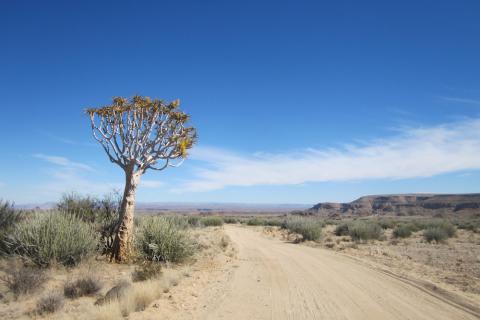 Koecherbaum neben der Strasse in Namibia