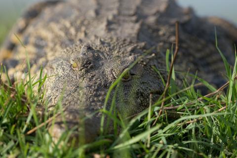 Krokodil im unvergleichlichen Chobe Nationalpark in Botswana