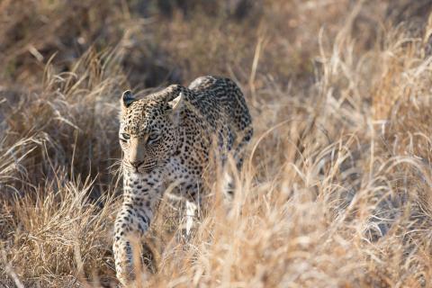 Leopard im Krüger Nationalpark während der Reise durch Südafrika