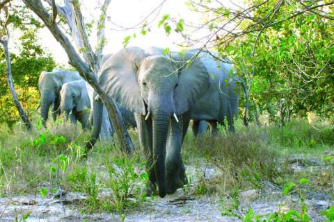 Elefantenbulle und Elefantenherde im tierreichen Lake Mburo National Park