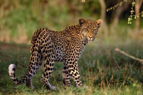 Leopard im Krüger National Park Südafrika