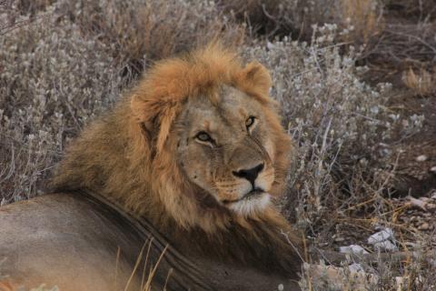 Greenfire Bushveld Camp im Balue Game Reserve: Männlicher Löwe auf Pirschfahrt und Südafrika Safari Tour gesichtet