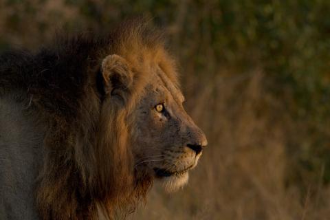 Löwen Pascha mit riesiger Mähne im Krüger Nationalpark Südafrika