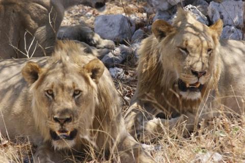 Löwen beim ausruhen im Etoscha National Park in Namibia