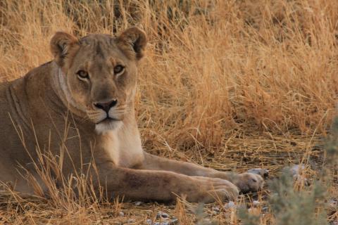 Löwin im Kgalagadi Transfrontier Parks Namibia der für seine große Population an Wildkatzen bekannt ist