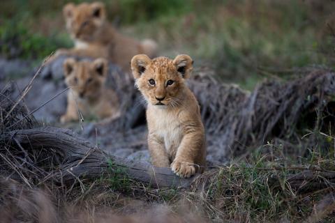 Babaylöwen in Botswanas Game Reserve Moremi während der Campingsafari